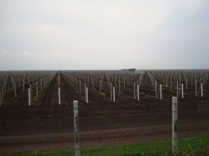Виноградники Крикова